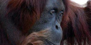 Đười ươi Sumatra
