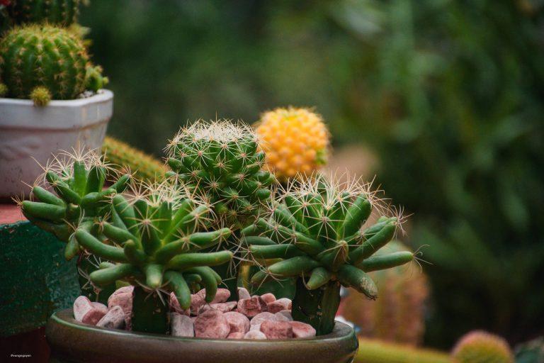 Vườn xương rồng