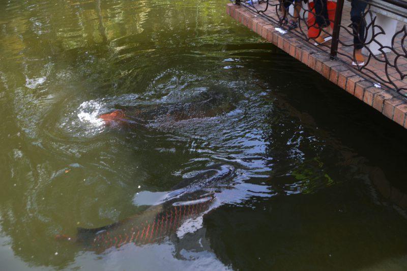 Cá Hải tượng Đầm Sen