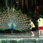 Chim công Đầm Sen
