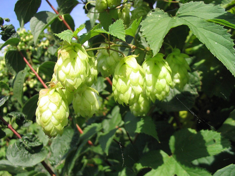 hoa Hublông - lễ hội hoa bia thủ công 2020