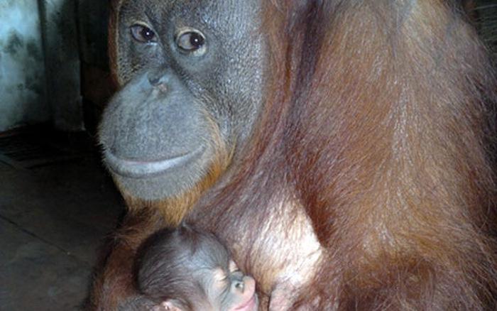 đười ươi Sumatra mẹ con