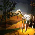 Tiêu bản xương ngựa