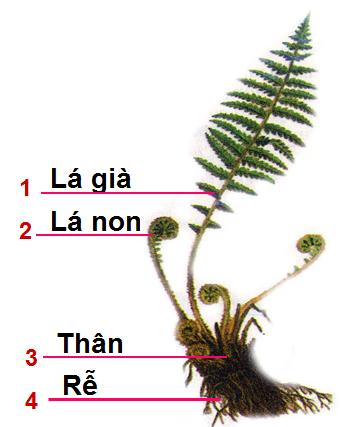 Cây dương xỉ 1