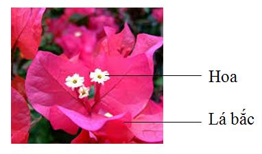 Cây hoa giấy 1