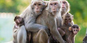 Khỉ đuôi dài