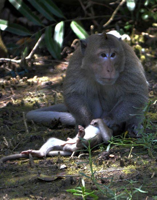 khỉ đuôi dài chúa